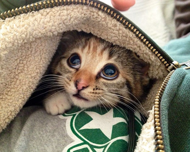 Our Kitten Loves To Snuggle Into My Hoodie When I'm Not Paying Her Enough Attention