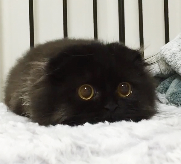 Gimo, The Cute Cat With The Biggest Eyes Ever